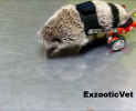 Adorable paralyzed hedghog gets new lease on life