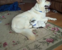 Love knows no boundries as a dog adopts a baby goat